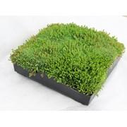 M-Tray® Sedum Green Roof Module